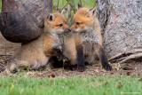 Siblings: Red Fox Kits