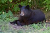 Yogi: Juvenile American Black Bear: SERIES of Two Images