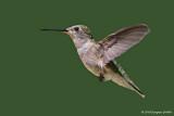 Hovering: Female Ruby-throated Hummingbird