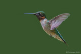 Hovering 2_Male Ruby-throated Hummingbird