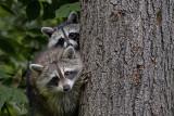Siblings: Two Racoon Kits
