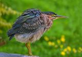 Shaken...NOT Stirred: Juvenile Green Heron