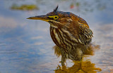 Unruly Feather: Green Heron