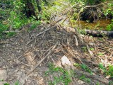 American Alligator's nest