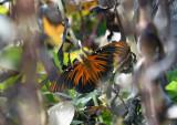 Longwings & Fritillaries