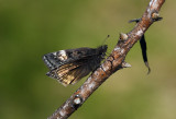 Spread-Wing Skippers