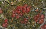 Dwarf Sundew (Drosera brevifolia)
