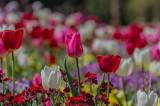 Tulips 2017