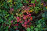 Turning Blackberry Leaves