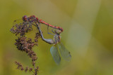 Ruddy Darters (Sympetrum sanguineum)