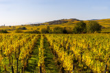 Alsace Vineyards in Autumn