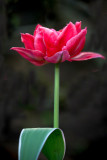 Tulips 2018
