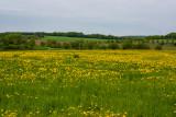Field full of Dandelions