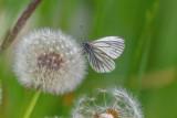 White on Dandelion