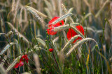 Rye and Poppies