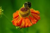 Sneezeweed with Bee