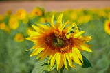 Late Sunflower