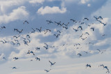 Flock of Pied Avocets