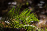 Fern - Still Green