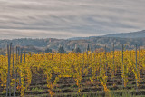 Late Autumn in the Vineyards