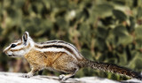 ChipmunkB0524.jpg