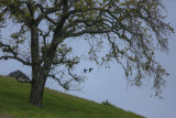 Pair of Common Ravens flying past an oak