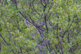 Oak Titmouse in willow tree