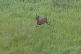 Mule Deer leaping
