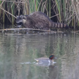 Raccoon and Green-winged Teal