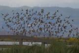 Western Sandpipers in flight)