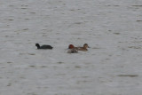 Pair of Redheads and an American Coot