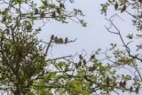 Cedar Waxwings filling a tree
