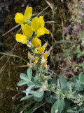 False Lupine (Thermopsis macrophylla)