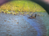 Canada Geese with Horned/Eared Grebe