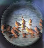 Godwits and Dowitchers