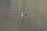 Pied-billed Grebes on Almaden Reservoir
