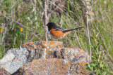 Spotted Towhee with matching lichen