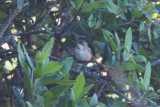Selasphorus hummingbird (likely Allen's)
