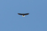 Bald Eagle over Grant Lake