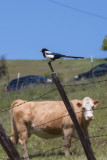 Yellow-billed Magpie with cow