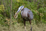 Great Blue Heron eating an Alligator Lizard, Ed Levin County Park near Sandy Wool Lake