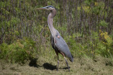 Great Blue Heron eating an Alligator Lizard