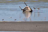 Semipalmated Plover, Black-necked Stilts and some sandpipers