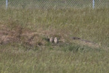 Burrowing Owls, Alviso