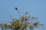Eurasian Collared-Dove and European Starling