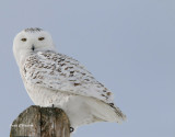 Harfang des Neiges (Snowy Owl