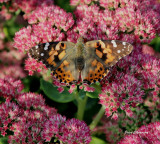 La Demoiselle / Painted Lady