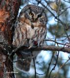 Nyctale de Tengmalm   ( Boreal Owl