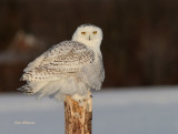 Harfang des Neiges( Snowy Owl )