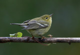 Warblers Vireos And Kinglets